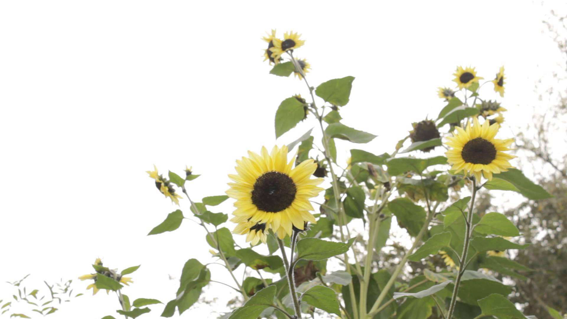 Sunflowers - White Background | Free Stock Footage Archive